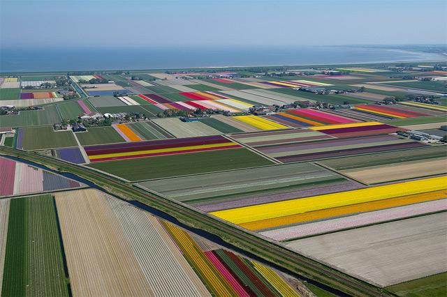 tulips-6