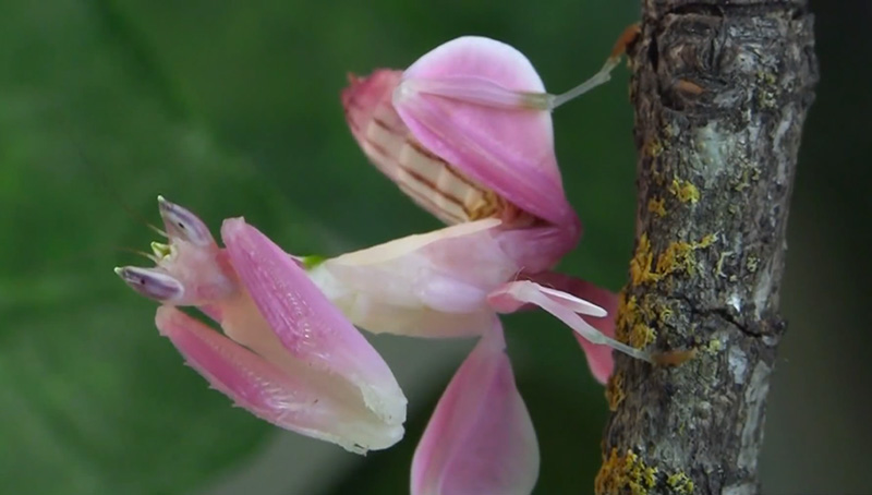 Terrifying orchid mantis is camouflaged to look exactly like a christopher jobson mightylinksfo