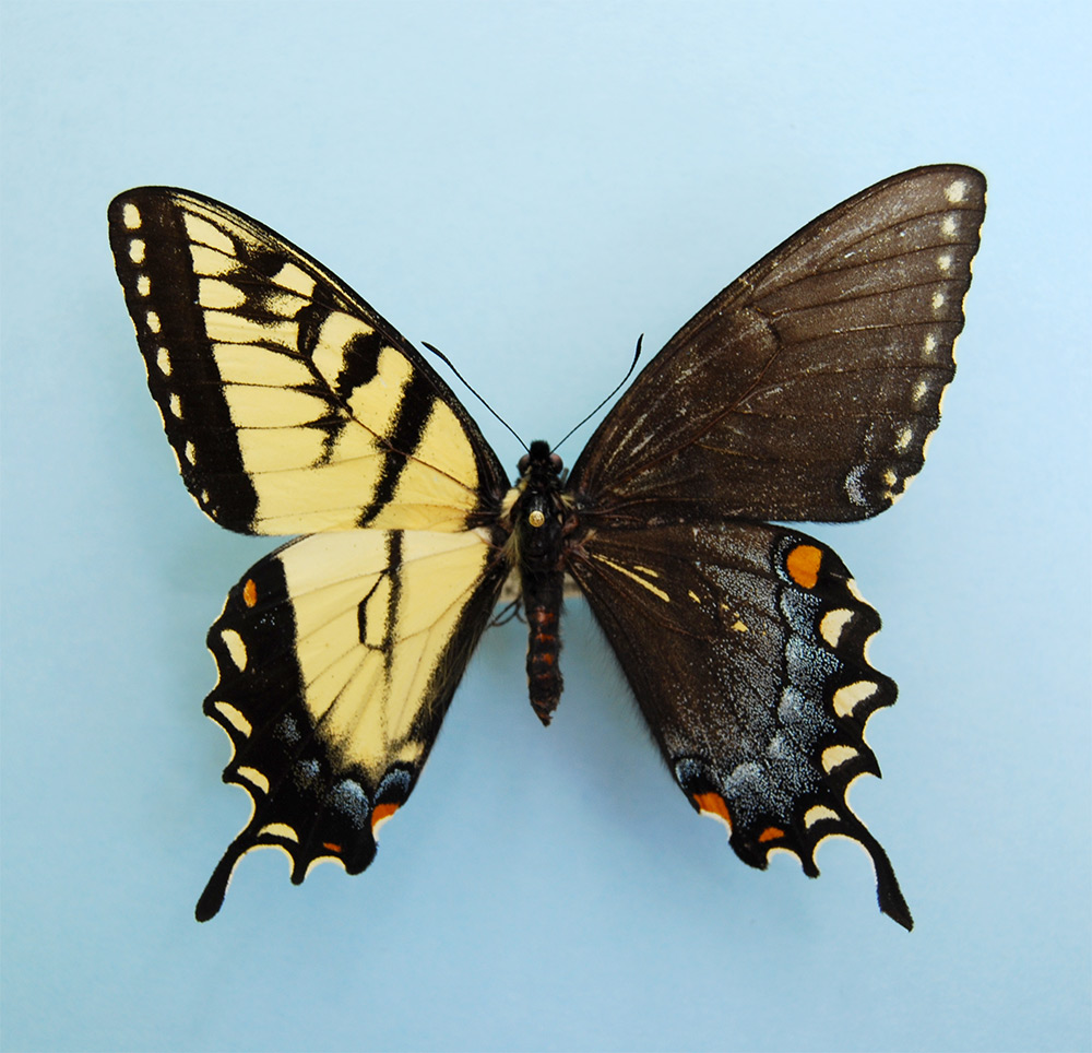 Spectacular Genetic Anomaly Results in Butterflies with Male and Female Wings genetics butterflies