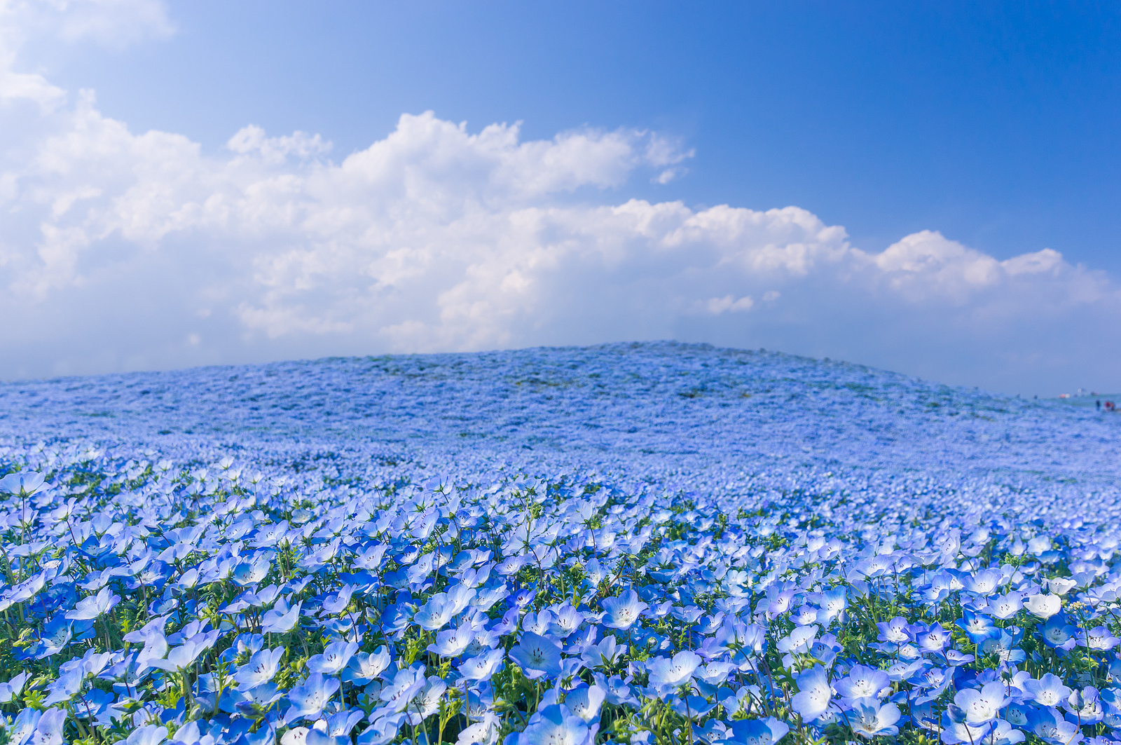 A Sea of 4.5 Million Baby Blue Eye Flowers in Japans Hitachi Seaside Park Japan flowers