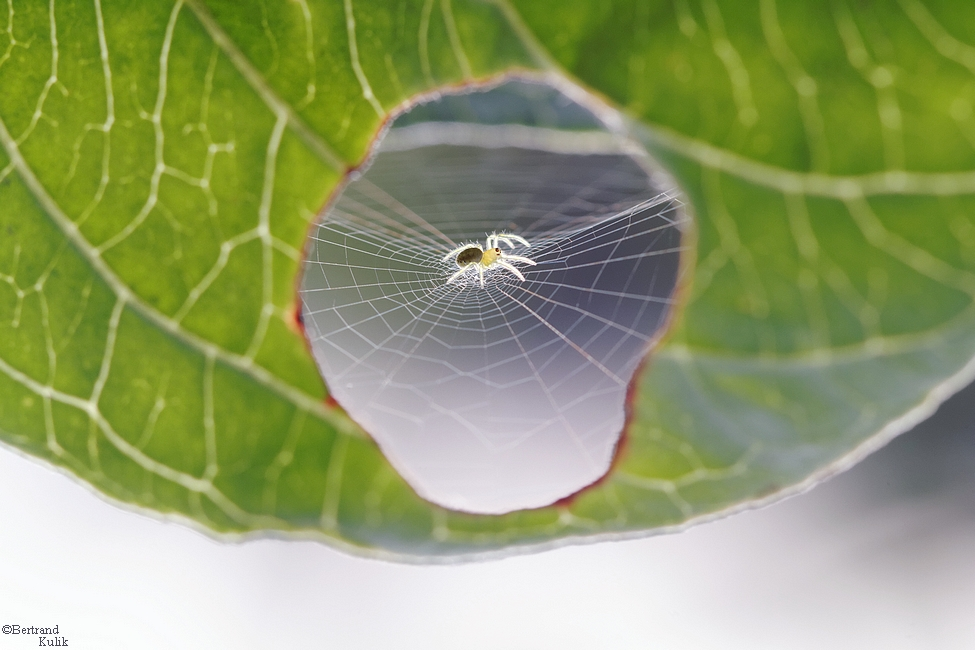 A Spider Fixing a Leaf spiders macro leaves