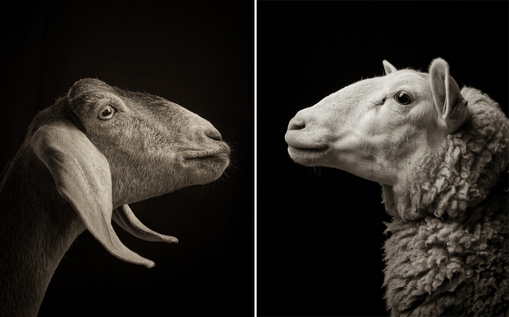 Majestic Black and White Studio Portraits of Goats and Sheep by Kevin Horan sheep portraits humor goats black and white
