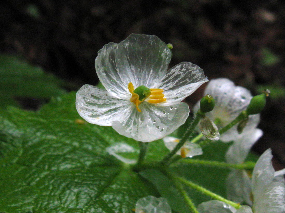 "The ""Skeleton Flower"" Turns From White to Translucent When Exposed to Water 