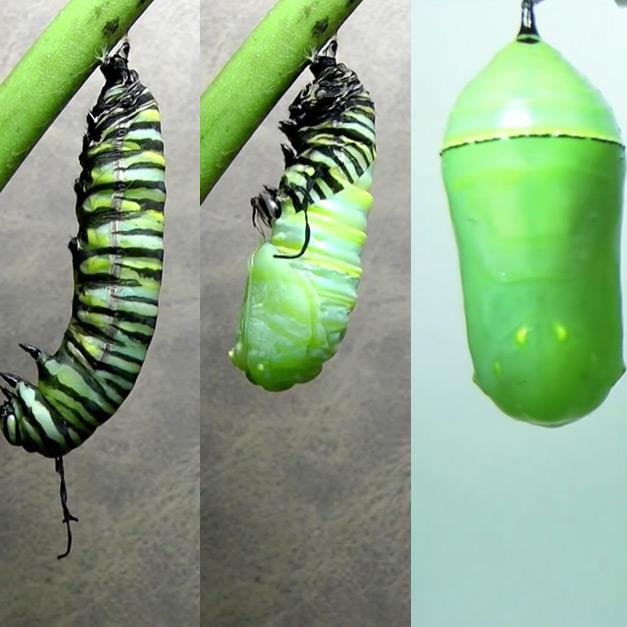 A Beautiful Monarch Butterfly Metamorphosis Timelapse in HD
