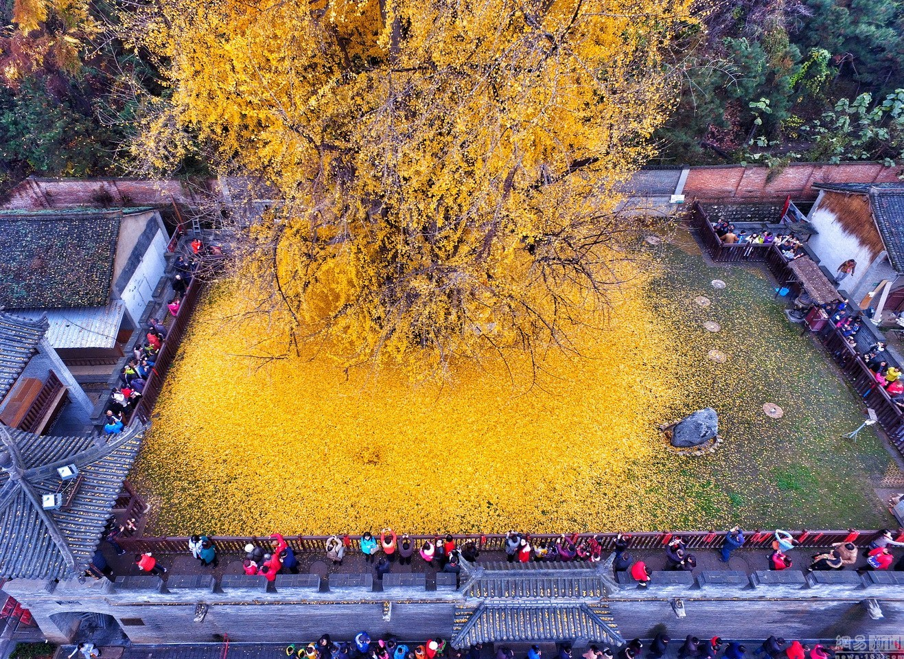 An Ancient Chinese Ginkgo Tree Drops an Ocean of Golden Leaves | Colossal