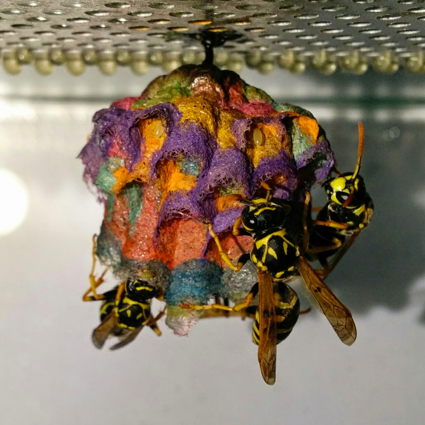 types of paper wasps Some types of paper wasps are also sometimes called umbrella wasps, due to the distinctive design of their nests species the name paper wasps typically.