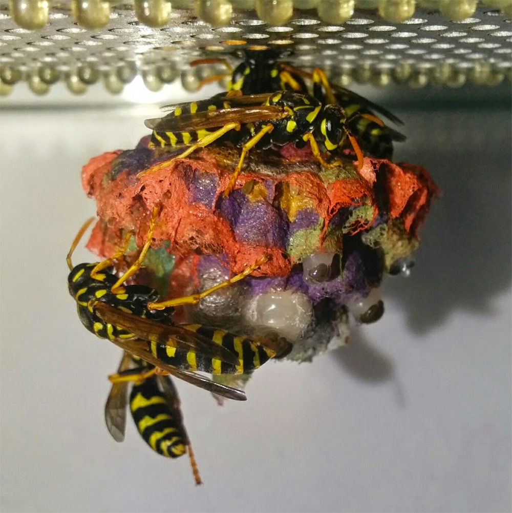 When Given Colored Construction Paper Wasps Build Rainbow