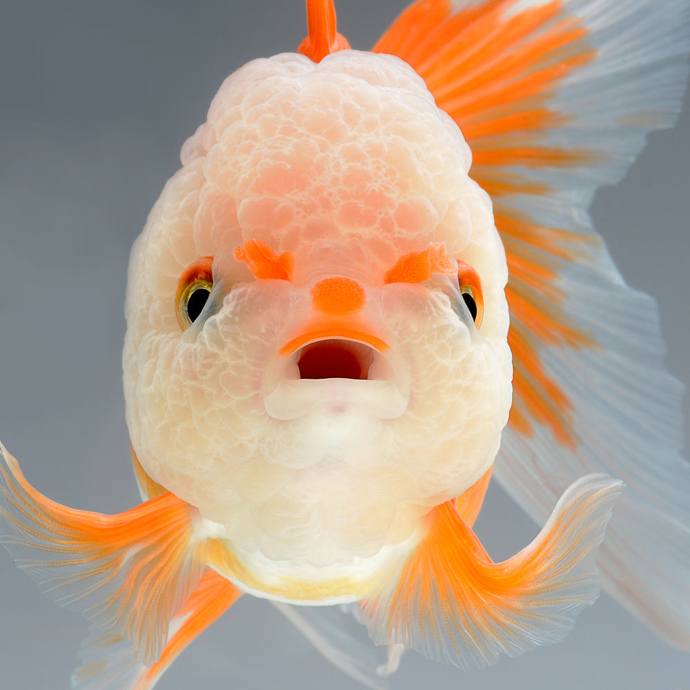 Dramatic portraits of pet fish swimming with personality for Fish for pets