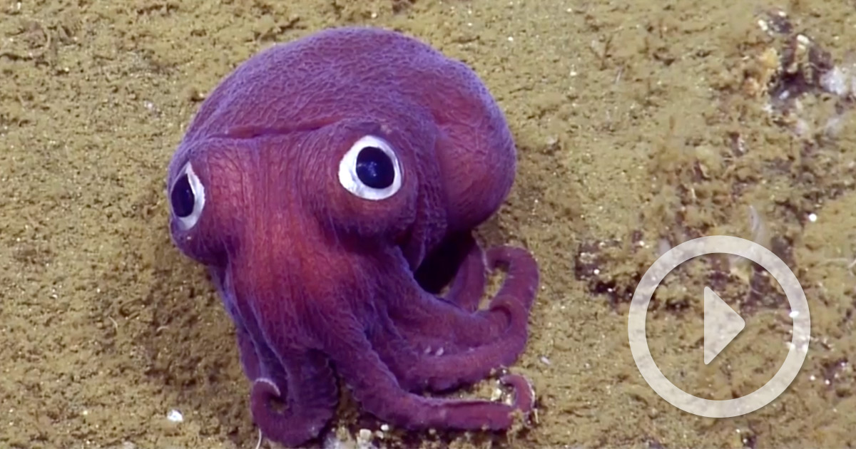 A Purple Cuttlefish With Comically Giant Googly Eyes