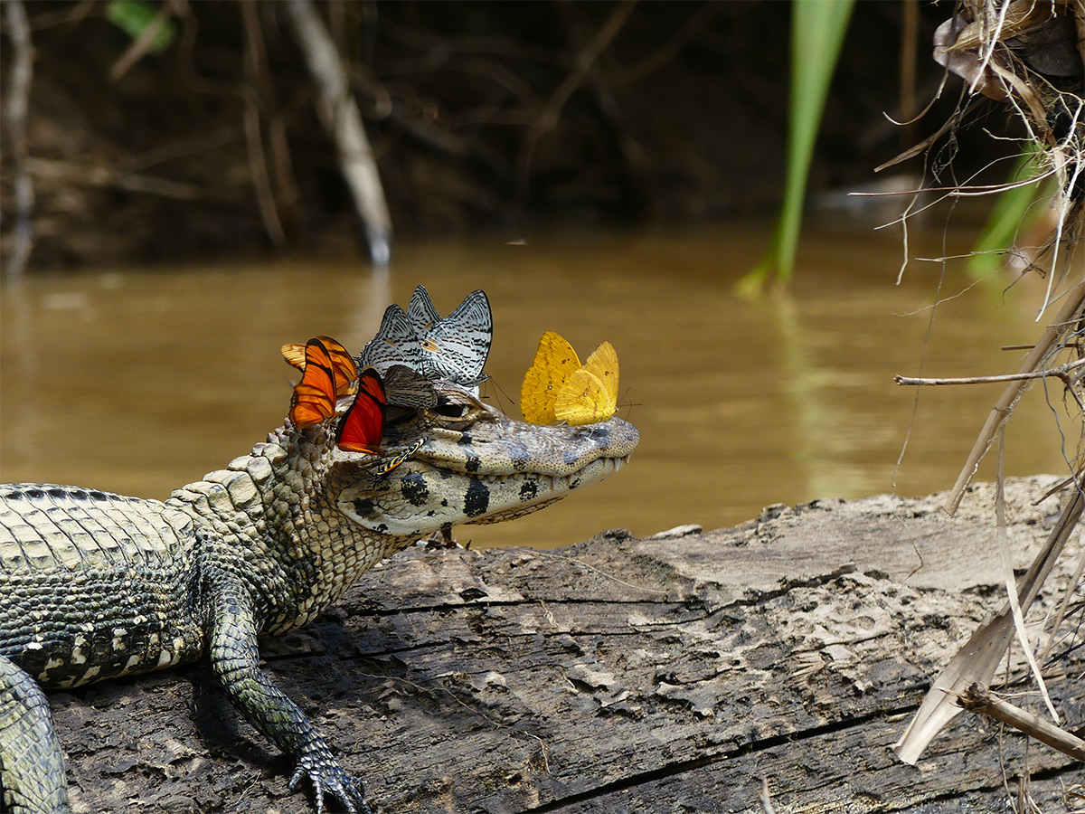 A Caiman Wearing a Crown of Butterflies Photographed by Mark Cowan ...
