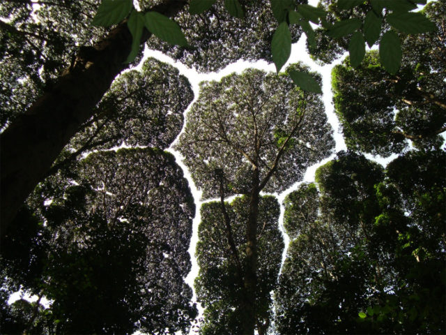 "The Phenomenon Of ""Crown Shyness"" Where Trees Avoid Touching"
