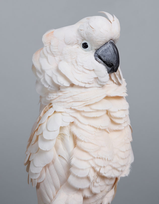 New Feathery Portraits That Peek Inside the Personalities of Cockatoos and Doves