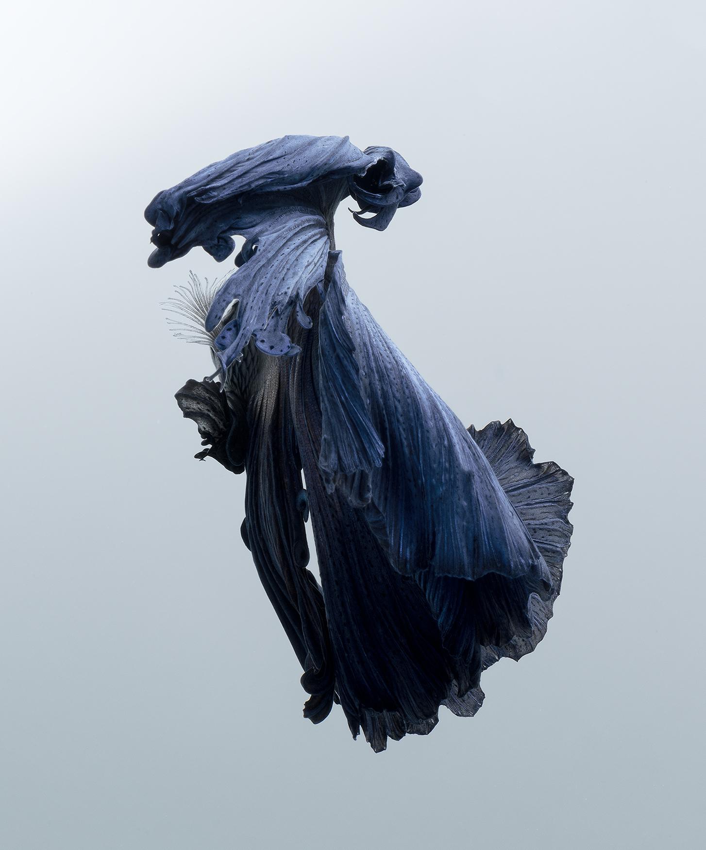 Betta Fish Imitate Elegantly Posed Dancers in New Portraits by Visarute Angkatavanich