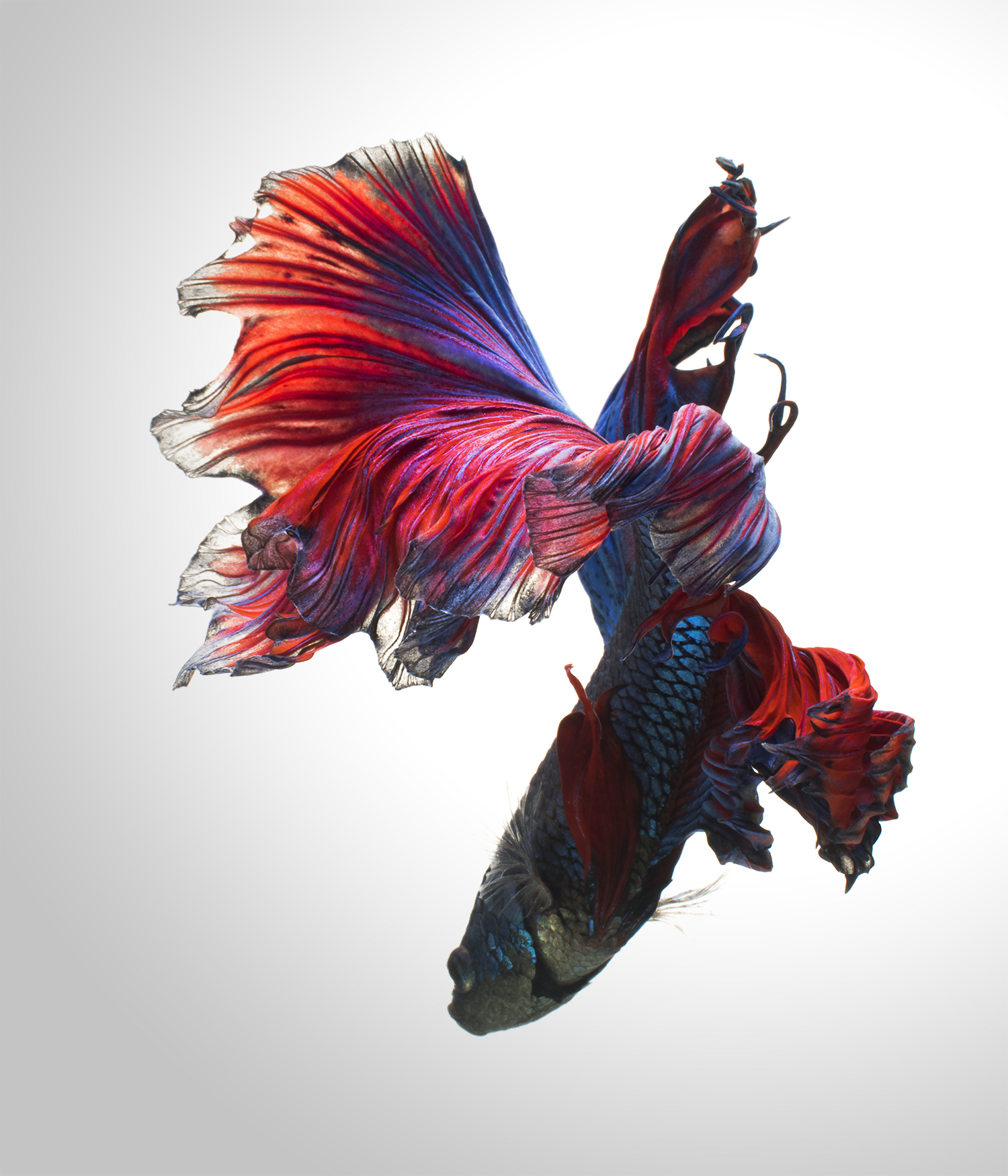 Betta Fish Imitate Elegantly Posed Dancers In New Portraits By