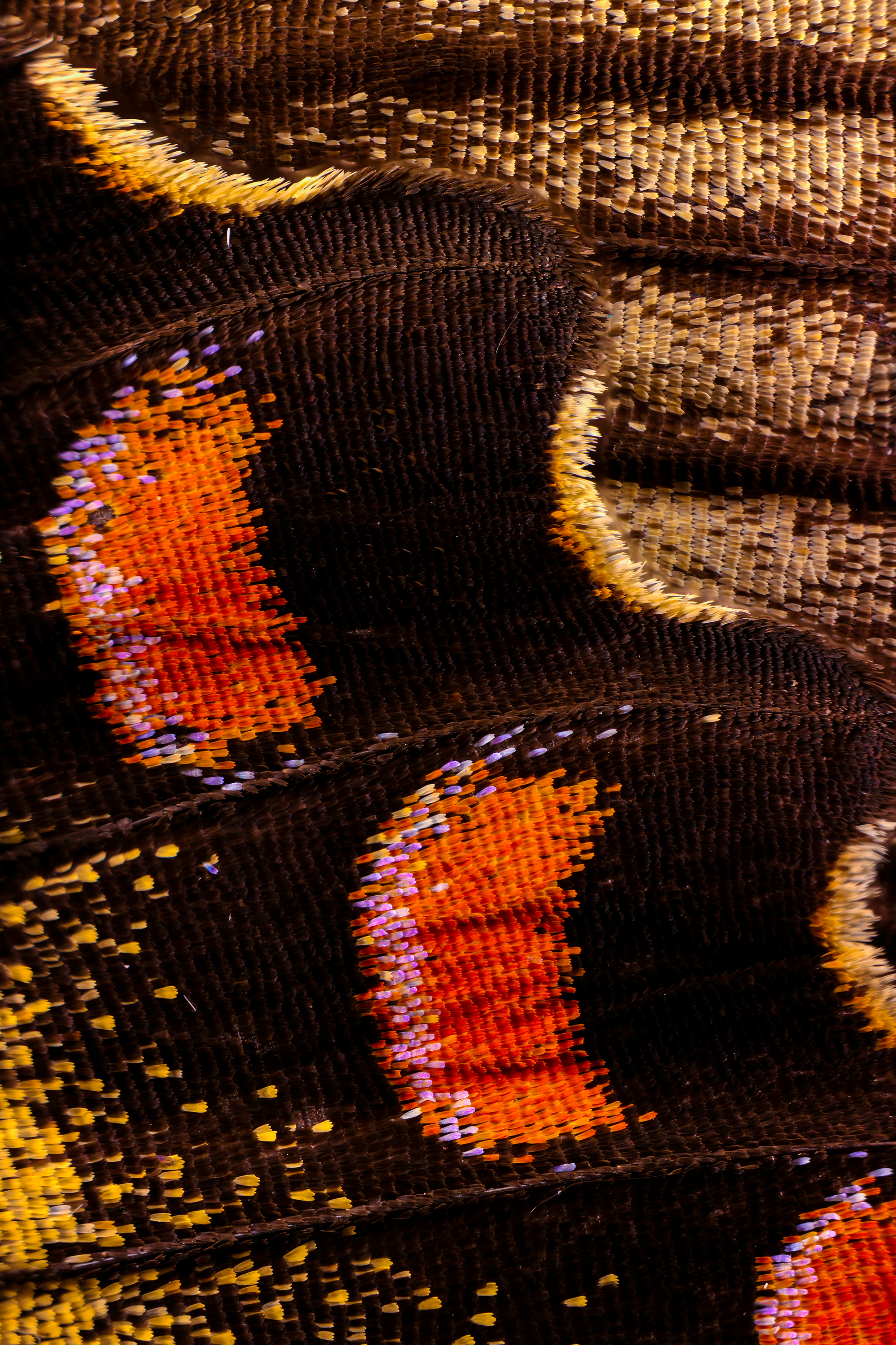 Macro Photography Reveals the Dazzling Scales and Multi-Colored Hairs That Cover Butterfly Wings