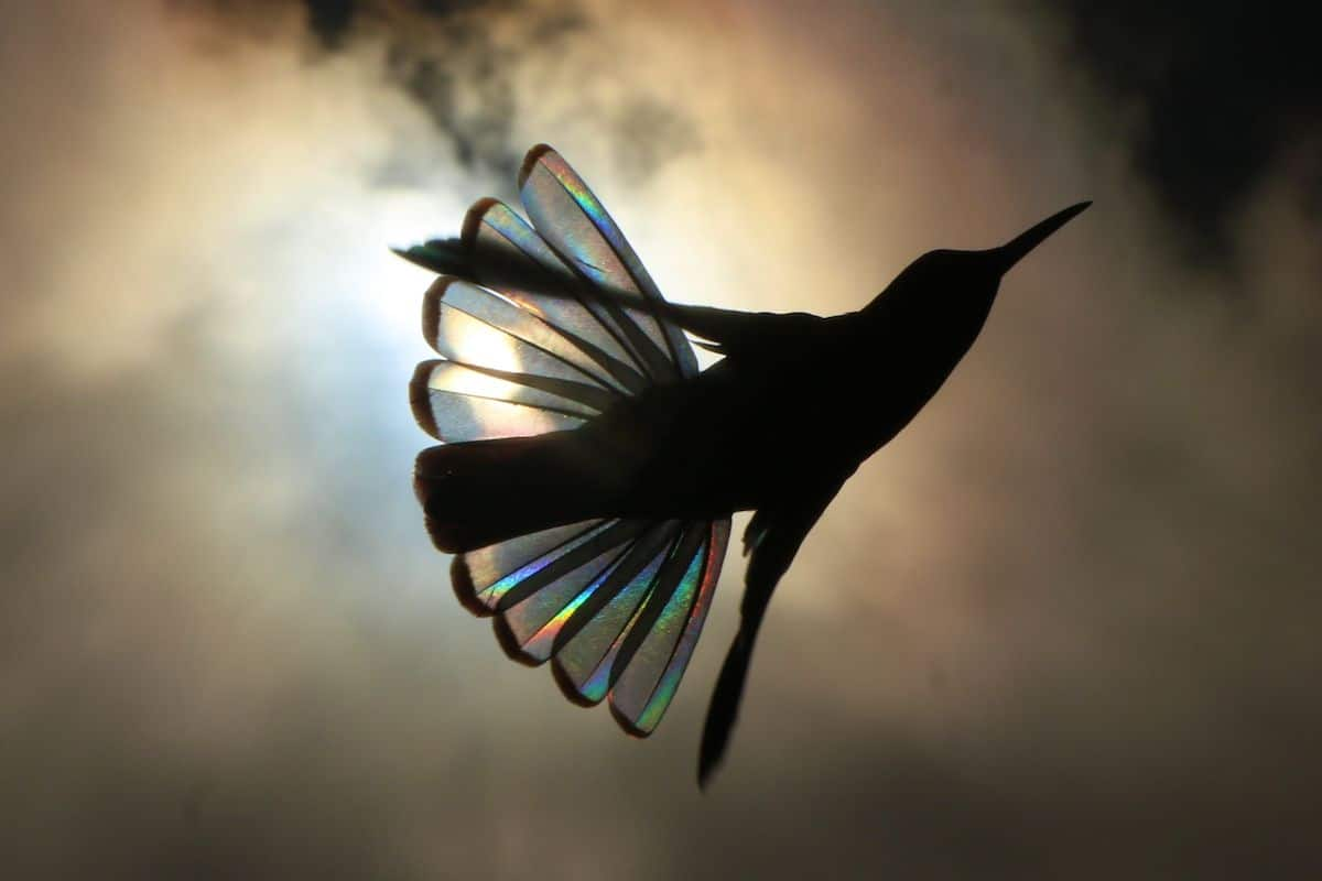 A Rainbow of Light Diffracts Through Hummingbird Wings in Photographs by Christian Spencer   Colossal