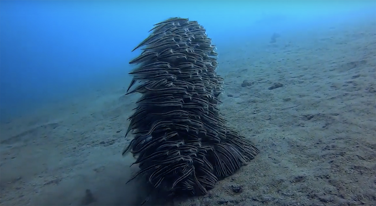 Striped Eel Catfish Traverse the Ocean Floor as a Strategically Rotating Mass | Colossal
