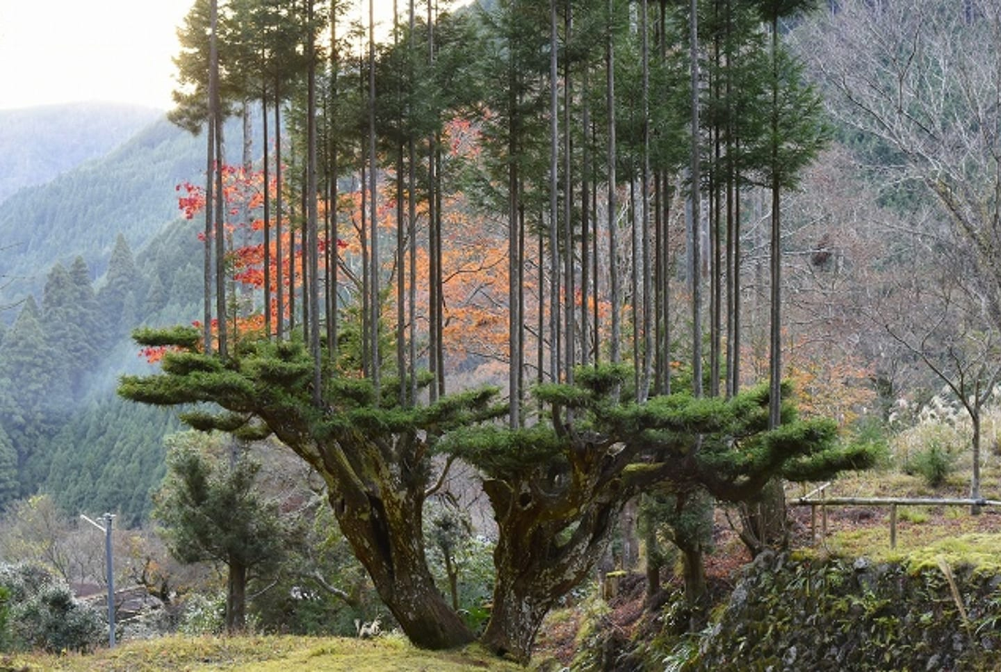 A Japanese Forestry Technique Prunes Upper Branches to Create a Tree Platform for More Sustainable Harvests