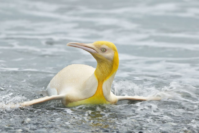 A Rare Yellow Penguin Has Been Photographed for the First Time on a South Georgia Island