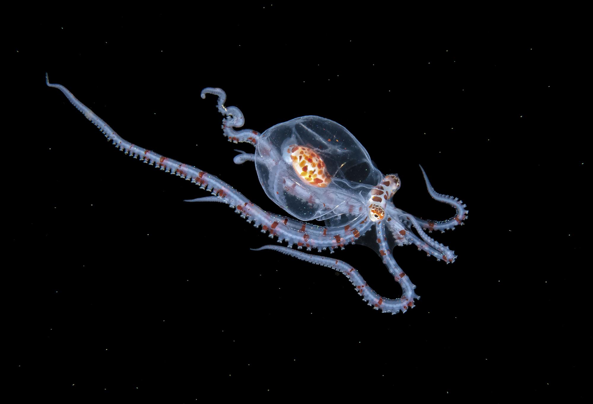 Foto subacquee scattate in acque scure e profonde a molte creature meravigliose ed eteree dell'Oceano Atlantico di Steven Kovacs