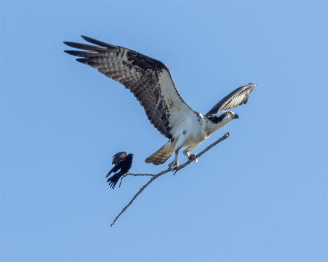 An Opportunistic Red-Winged Blackbird Catches a Ride on an Osprey's Stick
